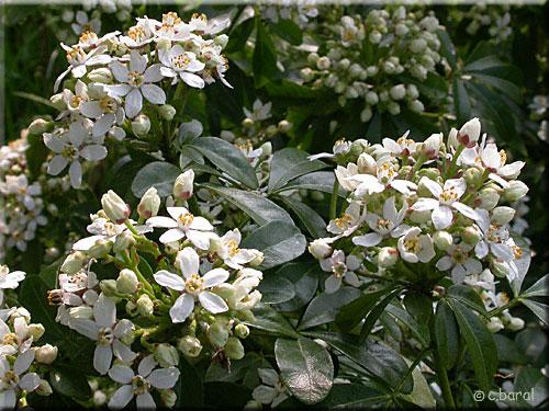 Oranger du mexique choisya ternata p2 - Oranger du mexique choisya ternata ...