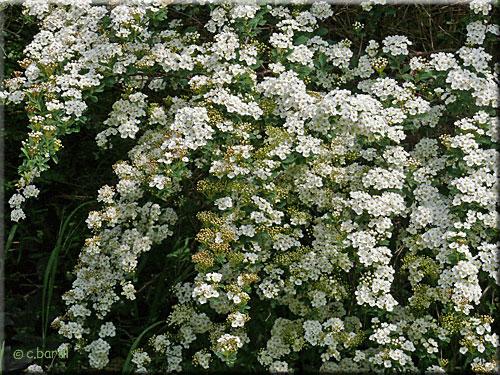 Spir e de vanhoutte spiraea x vanhouttei - Arbuste a petites fleurs blanches ...