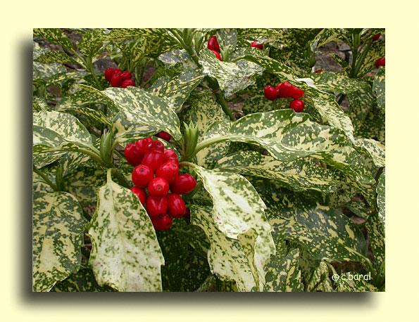 Les arbustes  - Aucuba japonica 'Crotonifolia',    Aucuba à feuilles de Croton