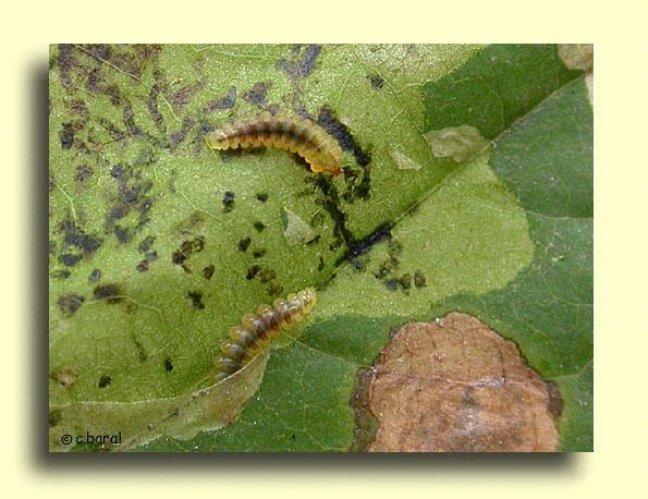 D mons et merveilles larves de cameraria ohridella la mineuse du marronnier - La mineuse des agrumes ...