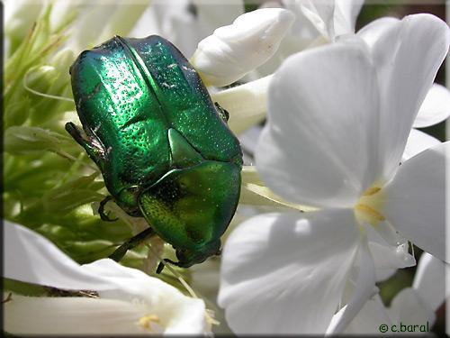http://demons-et-merveilles.fr/galeries/coleopteres/images/040810-115.jpg