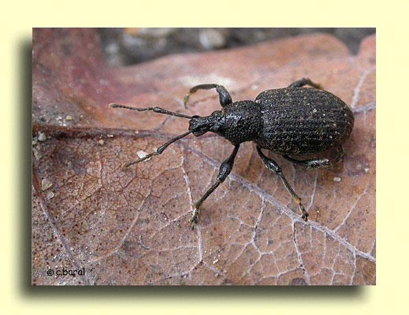 Les Coléoptères - Otiorhynchus sulcatus , Otiorhynque de la vigne Demons