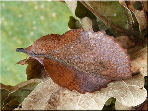 La feuille morte du ch ne gastropacha quercifolia - Gros papillon de nuit dangereux ...