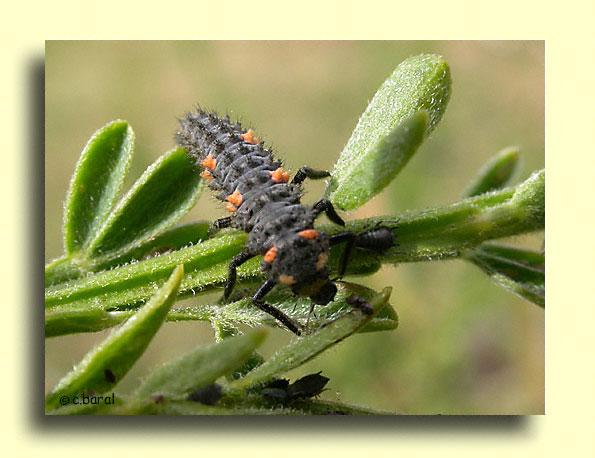 D mons et merveilles larve de coccinelle - Larve de coccinelle ...