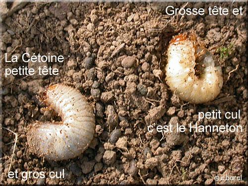 Les Vers Blancs Larves D Insectes