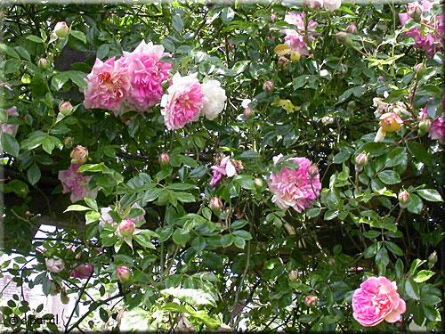 Rosier 39 henri barruet 39 p2 - Taille des rosiers apres floraison ...