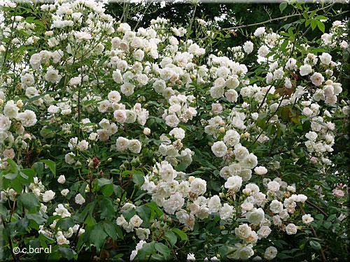 Rosier 39 treasure trove 39 p2 - Taille rosier liane ...