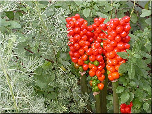 Gouet d 39 italie arum italicum for Portent fruit