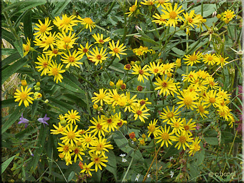 S ne on jacob e senecio jacobaea - Mauvaise herbe fleur jaune ...