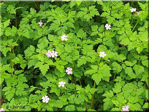 G ranium herbe robert geranium robertanium - Geranium feuilles qui jaunissent ...
