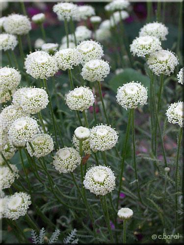 Santolina chamaecyparissus Edward Bowles