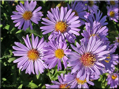 Marguerite : planter et cultiver Ooreka