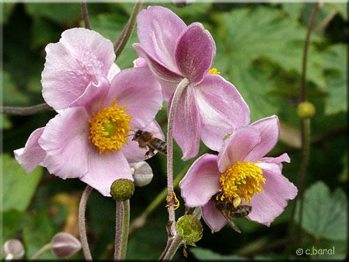 an mone du japon 39 september charm 39 anemone japonica p2. Black Bedroom Furniture Sets. Home Design Ideas