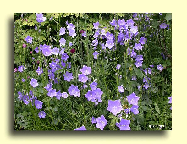 D mons et merveilles campanula persicifolia campanule - Campanule a feuilles de pecher ...