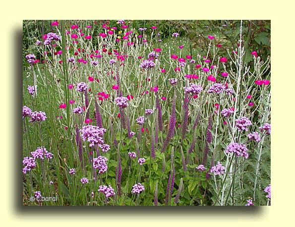 D mons et merveilles lychnis verveine teucrium - Planter de la verveine ...